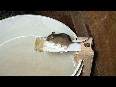 這名男子在反覆觀察怎麼抓老鼠後,終於找出「超簡單又不殺生」的方法…這招連怕的人也辦得到!