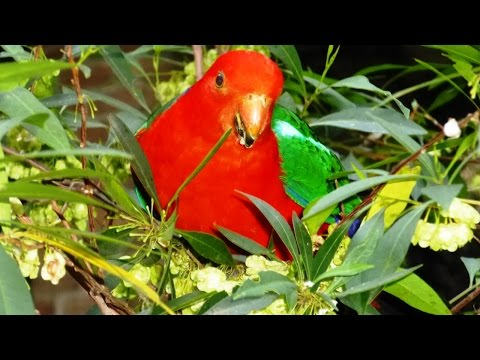 Australian King-Parrot feeding on Common Hop Bush fruit