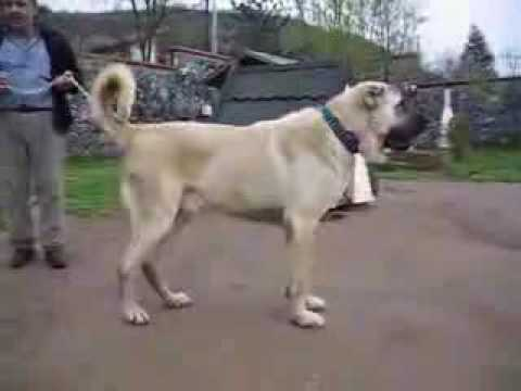kangal dog - Kangal dogs came from turkey they live in sivas.Some stupid pkk kurds make videos on youtube and say that the kangals are kurdish dogs but that isnt true the...