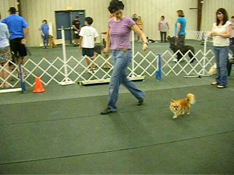 chihuahua training for show