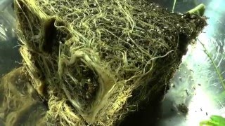 Do Your Cannabis Roots Contain Cannabinoids ? by John Berfelo