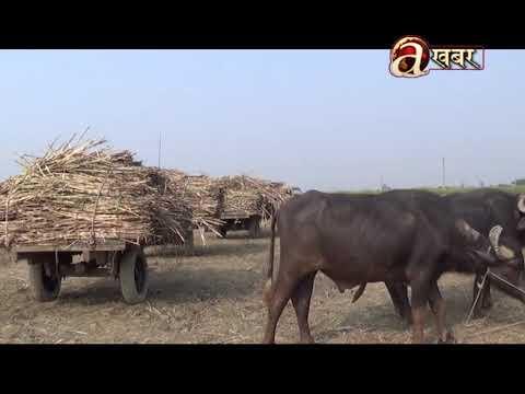 (बर्षभरीको मेहनतको फल नपाएपछि सुनसरी–मोरङका उखु किसान चिन्ति - Duration: 106 seconds.)
