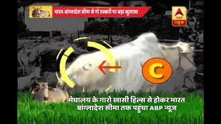 ABP News Investigation: Watch how cow smuggling is being done via India-Bangladesh border