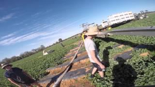 Chinchilla Australia  city images : Melon Picking - Australia Backpacking - Chinchilla, Queensland