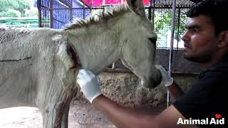 Video Wounded and bleeding donkey stranded on highway rescued MP3, 3GP, MP4, WEBM, AVI, FLV Oktober 2018