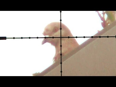 Pigeon in crosshairs