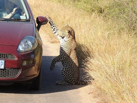 leopard - An unbelievably rare sighting of a leopard playing with it's reflection on a car. The original photo of this sighting went viral: https://www.facebook.com/ph...