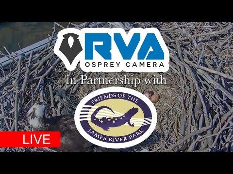 Richmond Virginia's only Live Osprey...