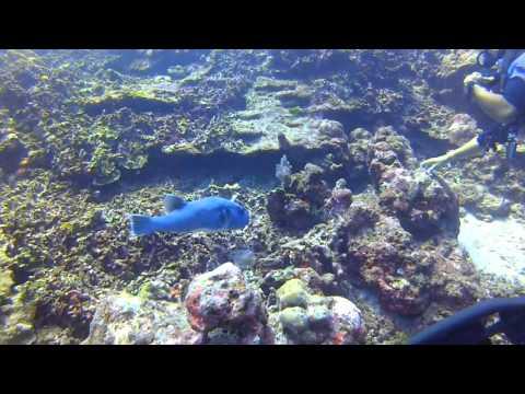 Immersione con pesce palla