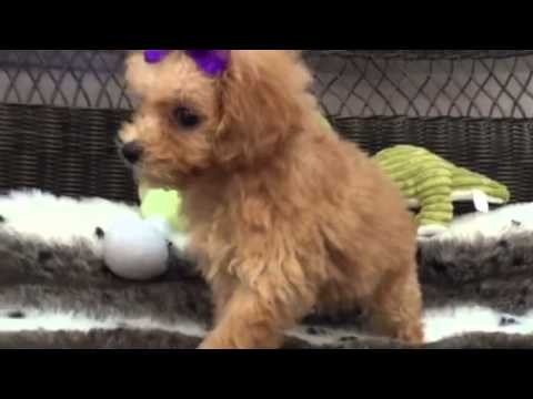 Rich apricot Maltipoo baby girl