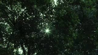 Time lapse video of the sun, moving through the leaves of a tree ... shot from below a large shade tree.