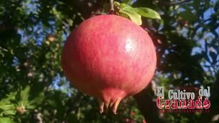 Temporada 2017 cultivo del granado- Mollar de Elche