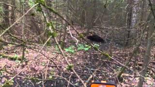 Bracebridge (ON) Canada  city photos : 2014 Black Bear Hunting Bracebridge Ontario Canada