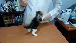 注射、イヤ!絶対!な子猫、優しい獣医さんと格闘を続ける