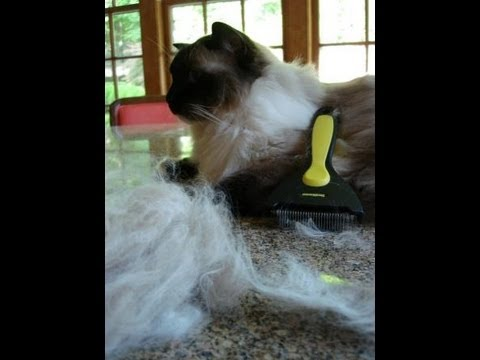 0 How Much Do Ragdoll Cats Shed?