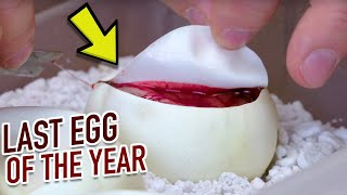 CUTTING LAST SNAKE EGGS OF THE YEAR!! BIZARRE RESULTS!! | BRIAN BARCZYK by Brian Barczyk