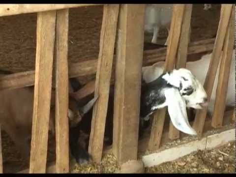 Consumo de Leite de Cabra em Alfenas