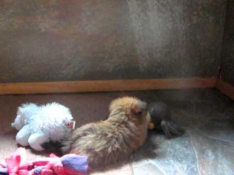 home raised prespoilt shorkie babies