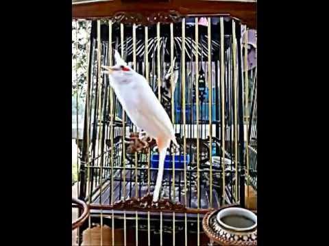 นกหัวจุก - เจัากำไลเพชร อายุ 3 ปี เกิดเป็นคู่แรกของฟาร์ม ใหญ่ หล่อมาก ปัจจุบันมีลูกมีน้องออกมาอีก...