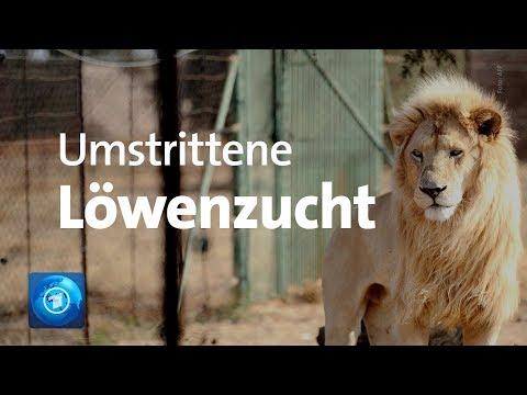 Umstrittene Löwenzucht auf Farmen für die Jagd in Süd ...
