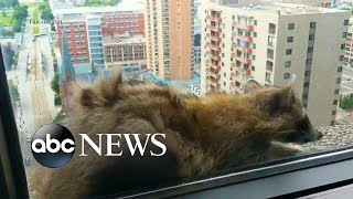 Video Raccoon scales more than 20-stories of office building MP3, 3GP, MP4, WEBM, AVI, FLV Oktober 2018