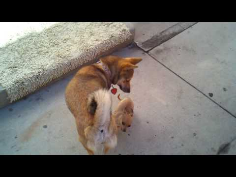 Aya playing with baby chihuahua