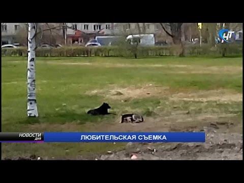 Жители Великого Новгорода жалуются на стаи бродячих собак