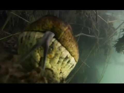 7 meter giant anaconda recorded in Rio in Brazil