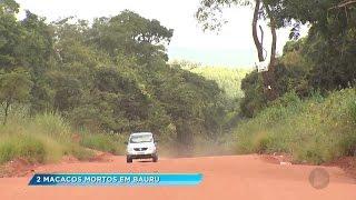 Macacos mortos em Bauru