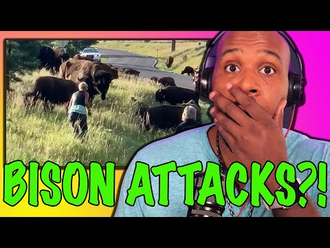 Bison Attacks Woman In Custer State Park?! | The Pascal Show