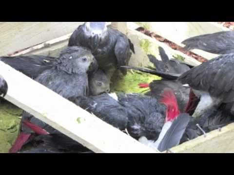 The unsustainable African Grey Parrot trade in South Africa