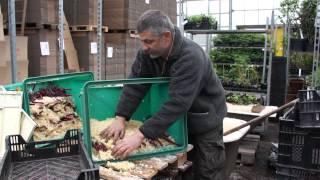 #588 Walnussveredlung 2012 - Verpacken und Antreiben der Veredlungen