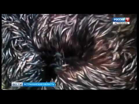 Астраханские рыбные пруды должны быть под полным контролем