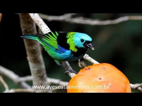Saíra-sete-cores - Cristiano Voitina