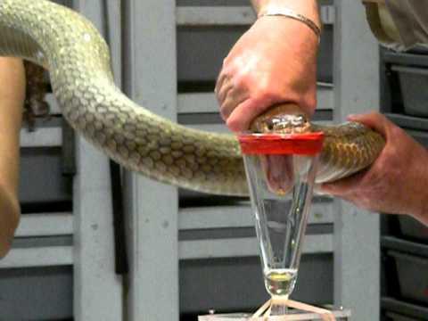 Tay không chiết nọc độc rắn hổ mang chúa