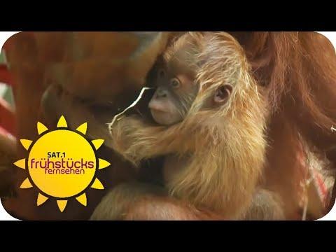 Frankfurt am Main: Orang-Utan-Baby: Der neue Nachwuchs könnte nicht süßer sein!