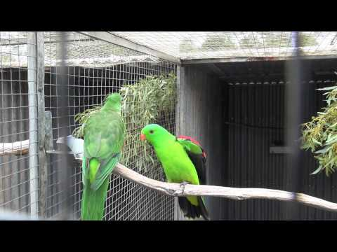 Crimson (Red) Wing Parrots | BirdSpyAus