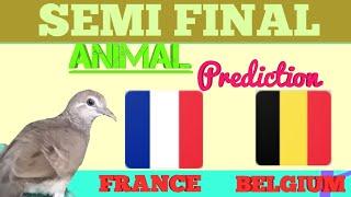 Prediksi BELGIA vs PERANCIS Bersama Burung Perkutut | Semi final World Cup | Animal Prediction