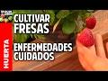 Cultivo de Fresas - Parte 5 - cuidados y enfermedades