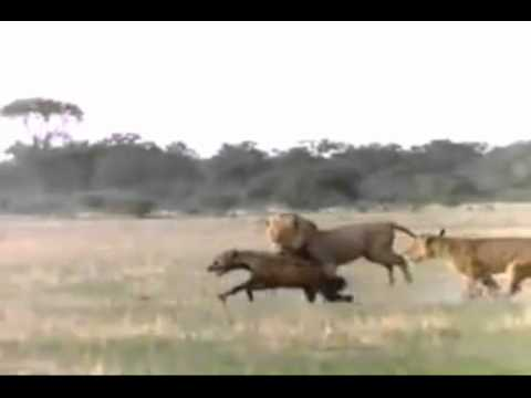 leones vs hienas - Naturaleza Salvaje - Lucha Animal : Leones vs Hienas / Wild Nature - Animal Fight : Lions vs Hyenas . Info y más videos : http://documentalium.blogspot.com/2...