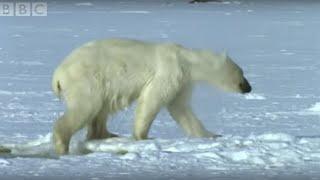 Video Polar Bear Hunts Beluga Whales - Blue Planet - BBC wildlife MP3, 3GP, MP4, WEBM, AVI, FLV Juni 2017