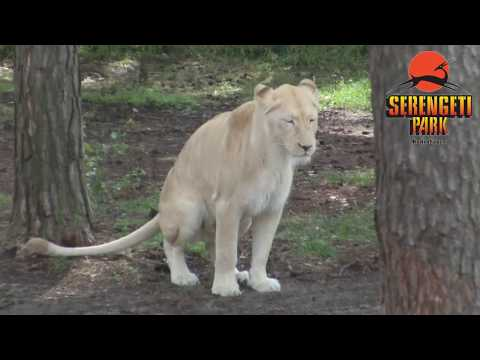 Hodenhagen: Serengeti Park 2012 - Part 1 - Safari Bus-Tour