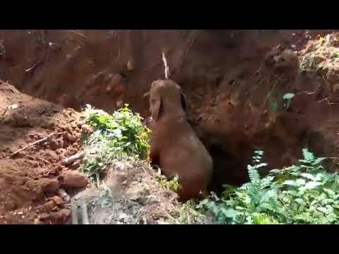 Elefantinpoikanen pelastetaan kuopasta – Iloinen jälleennäkeminen lauman kans!