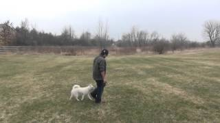 Pomsky Training Off Leash