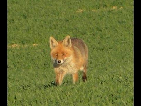 Fox hunting by calling - neck shot - polowanie na lisa - wabienie - Fuchs Jagd - Chasse Au Renard