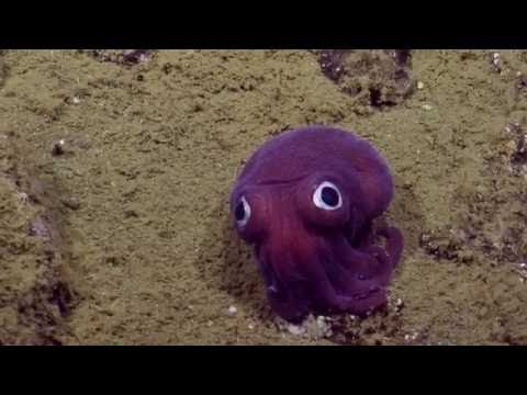 Scientists discover a googly-eyed cuttlefish on the sea floor and immediately begin roasting it