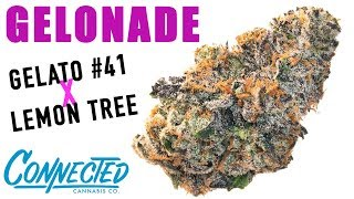 GELONADE STRAIN REVIEW (Gelato #41 x Lemon Tree) by The Cannabis Connoisseur Connection 420