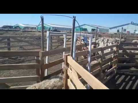 Быстрый пересчет чипированных овец