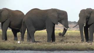 A herd of elephants feed by the river in the Chobe National Park, Botswana, Africa. Drifting closer in the boat allows a peaceful and close view of these majestic creatures. HD footage.