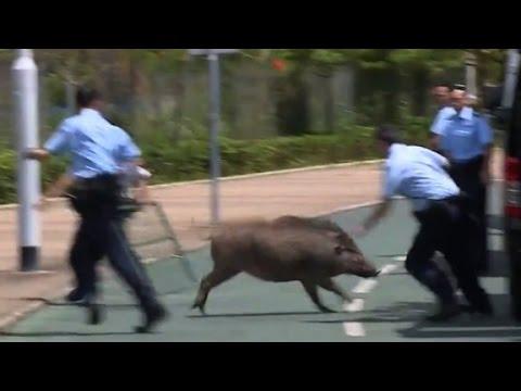 Police scramble to capture wild boar